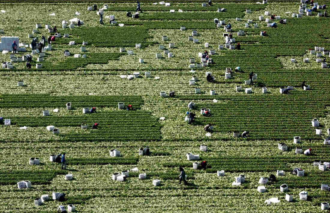 Workers pick fresh basil in a field in Villa Benito Juarez, Sinaloa. The tender leaves are carefully boxed for export to the United States.