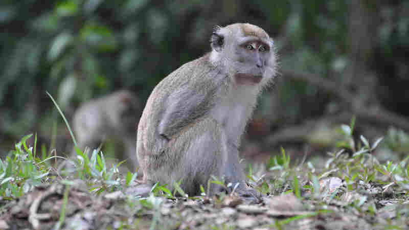 The long-tailed macaque carries a virulent strain of malaria that is responsible for an increasing number of human infections in Malaysia.