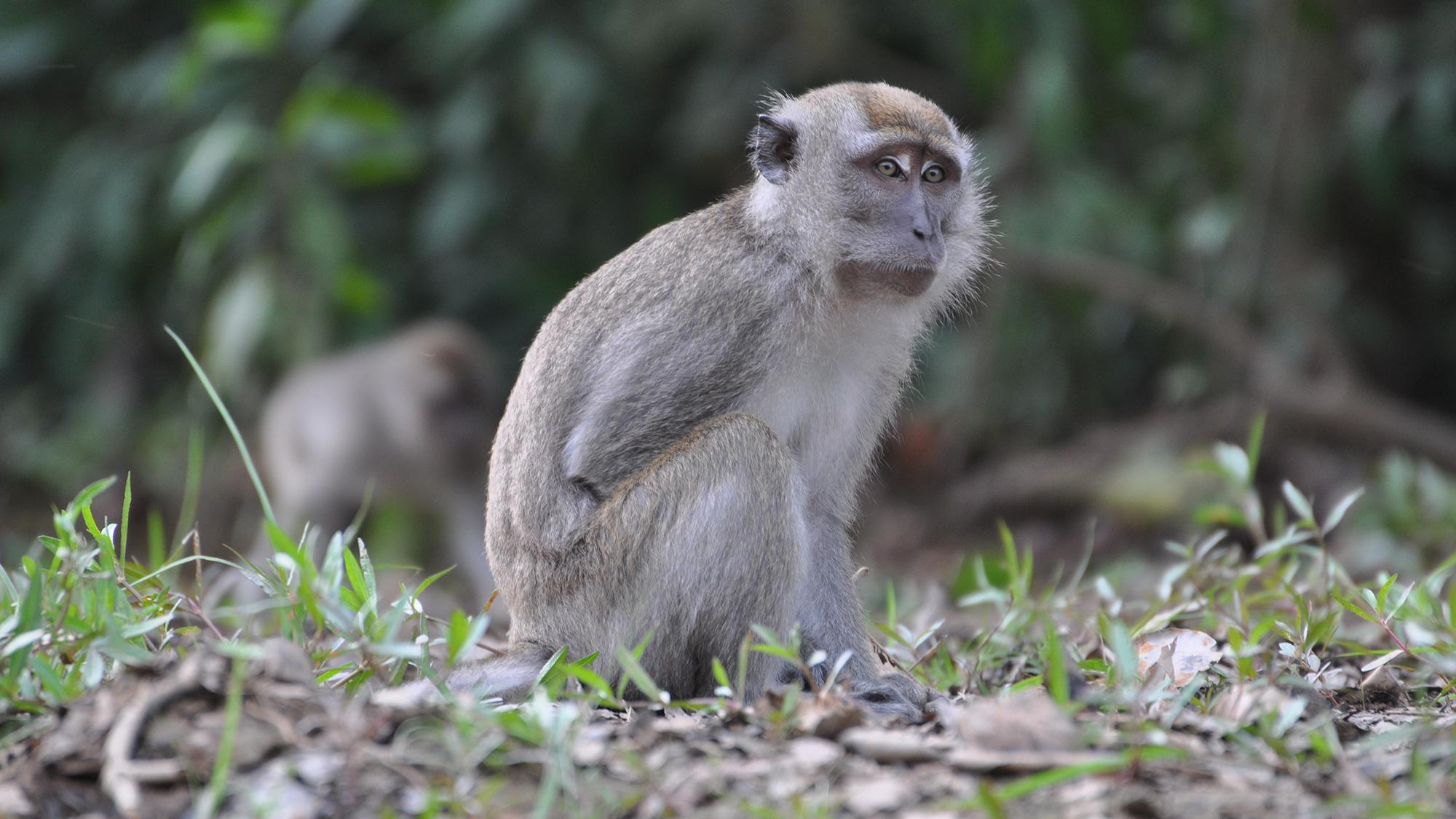 You Don't Want To Monkey Around With Monkey Malaria