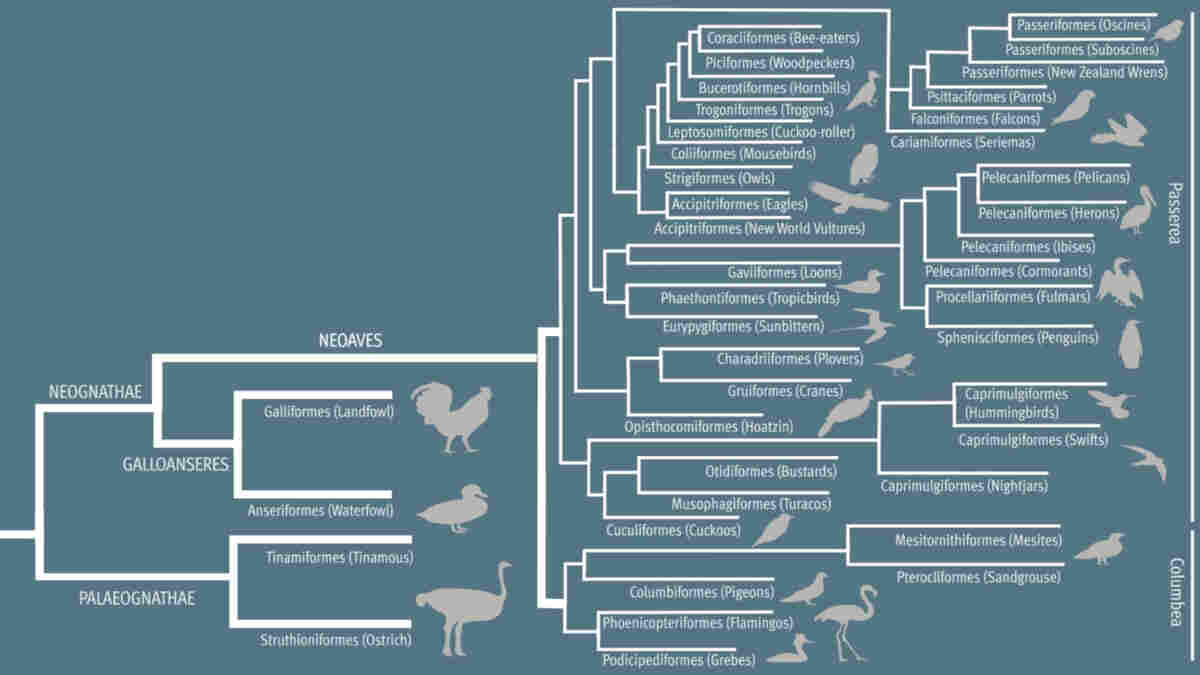 The updated avian tree shows how many different kinds of birds evolved quickly after a mass extinction 66 million years ago.