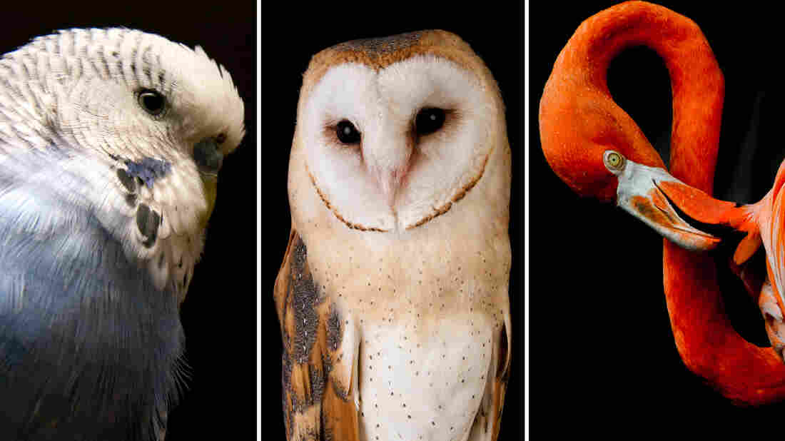 Recent research sequenced 48 bird species, including (from left) the budgerigar, the barn owl and the American flamingo.