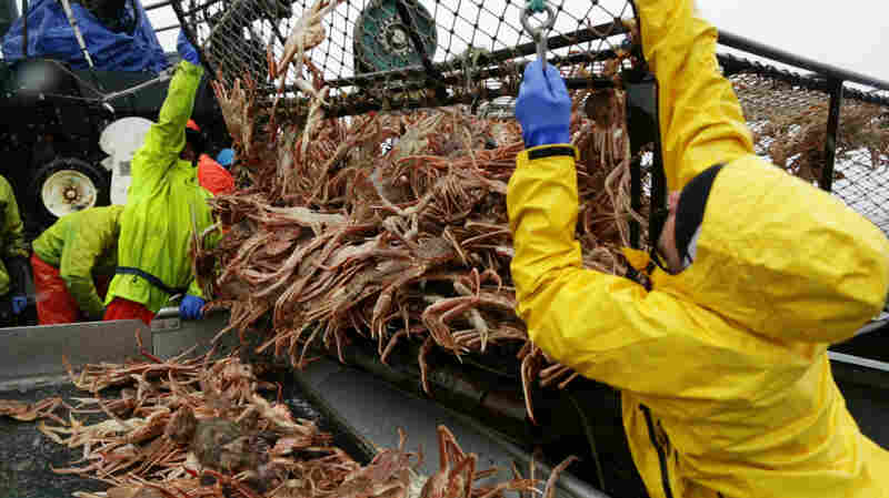A crab pot full of snow crabs, fished out of the Bering Sea.