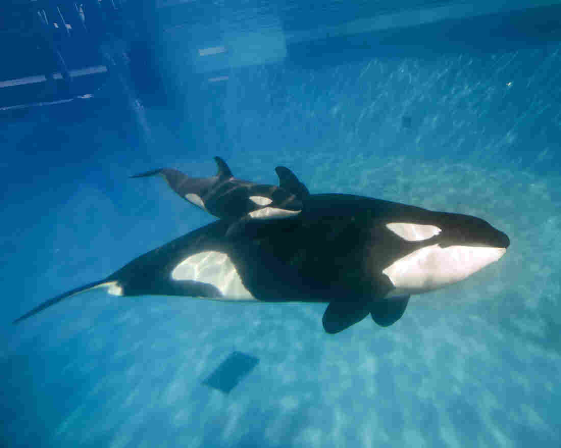 In this handout photo provided by SeaWorld San Diego, mom and baby killer whale swim together earlier this month at SeaWorld San Diego's Shamu Stadium.