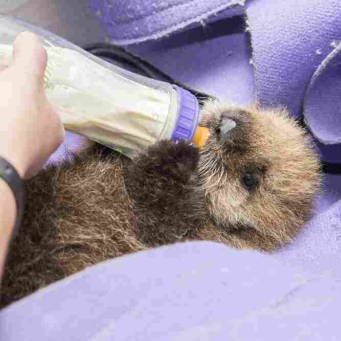 Chicago's Orphaned Otter 'Pup 681' Gets A Real Name