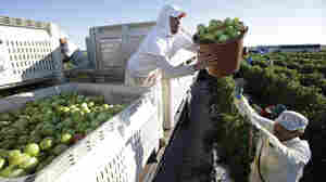 Florida Tomato Pickers' Wins Could Extend To Dairy, Berry Workers