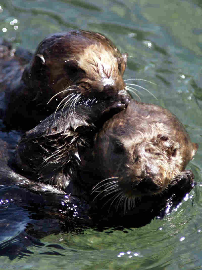 A mother sea otter and her pup swim in a tide pool in Monterey Bay.