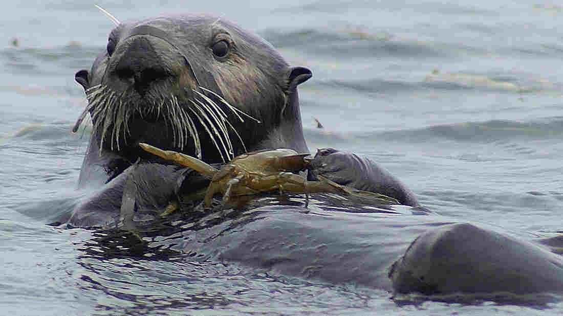This sea otter, about to eat a crab in the Elkhorn Slough National Estuarine Research Reserve, is cute, sure. But more importantly, it's indirectly combating some harmful effects of agricultural runoff and protecting the underwater ecosystem.