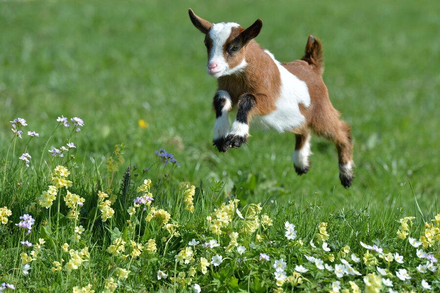 Image result for goats