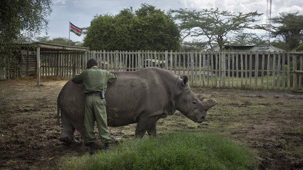 man inspecting rhino