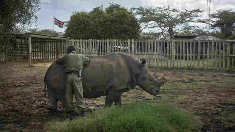 Najin, a female northern white rhino, gets a pat from keeper Mohamed Doyo. Najin, who lives at the Ol Pejeta Conservancy in Kenya, is one of only five of its subspecies left in the