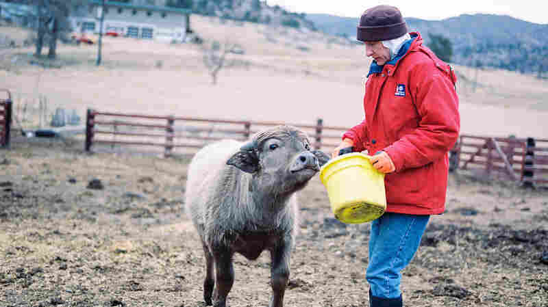 Sister Elizabeth feeds Yoda, a water buffalo calf at the ranch. The nuns bought the buffalo to make mozzarella.