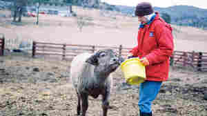 Sister Elizabeth feeding Yoda, a water buffalo calf at the ranch. The nuns bought the buffalo to make mozzarella.