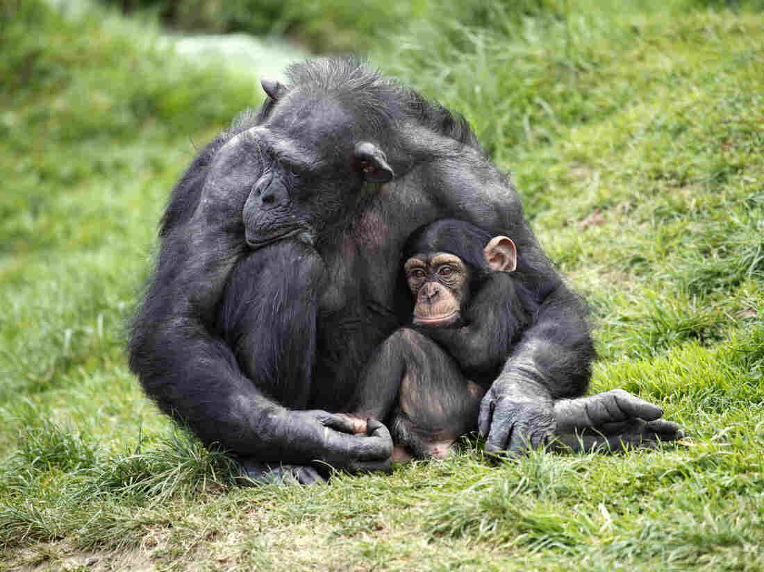A chimpanzee holds her baby.