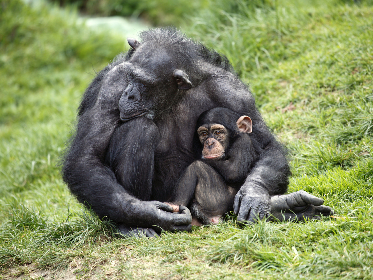 a paper on the behavior of chimpanzees Lab 2 essay 1 although both bonobos and chimpanzees share 98% of their dna with humans, i think bonobos are more similar in behavior to humans.