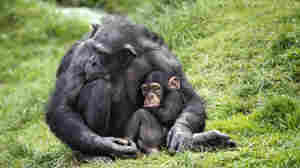 Evidence That Chimpanzee Moms Can Be Sneaky, Too