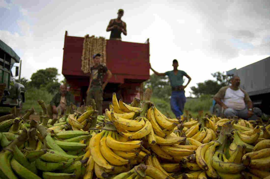 Banana growers at a market on the outskirts of Havana, Cuba, on Sept. 30, 2013. Cuba currently imports few fruits and vegetables from the U.S., but the American Farm Bureau says the change in relations may allow for new trade opportunities.