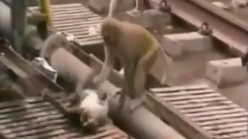 A screengrab of a monkey reviving his friend in Kanpur, India.