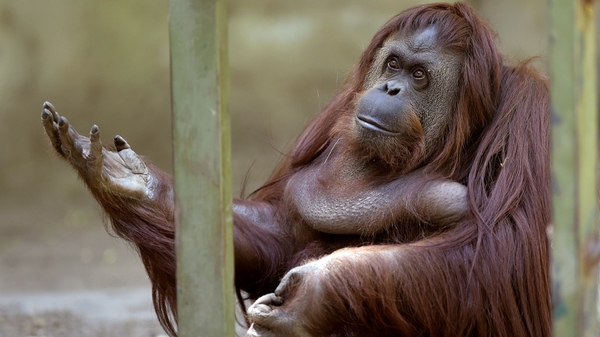 Sandra, an orangutan owned by the Buenos Aires Zoo, was given the right to leave the zoo after a court ruled she was entitled to more desirable living conditions.