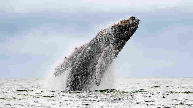 By the 1960s, humpback whales and other whale species had been hunted extensively, sometimes to the point of near extinction. Then a recording of humpback whale songs helped shift public opinion on the hunting of all whale species.