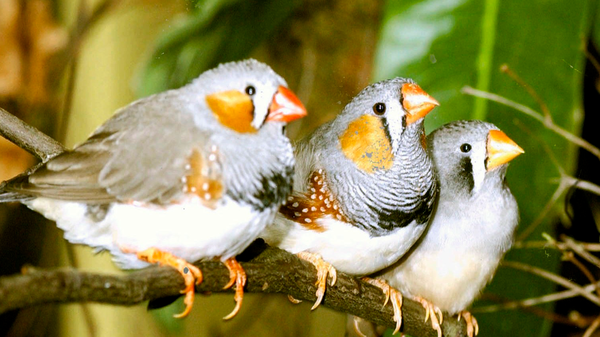 """Recent research has shown that zebra finches sing differently when drunk, but not whether they know enough of the lyrics to get through """"I Will Survive"""" or """"Don't Stop Believin'."""""""