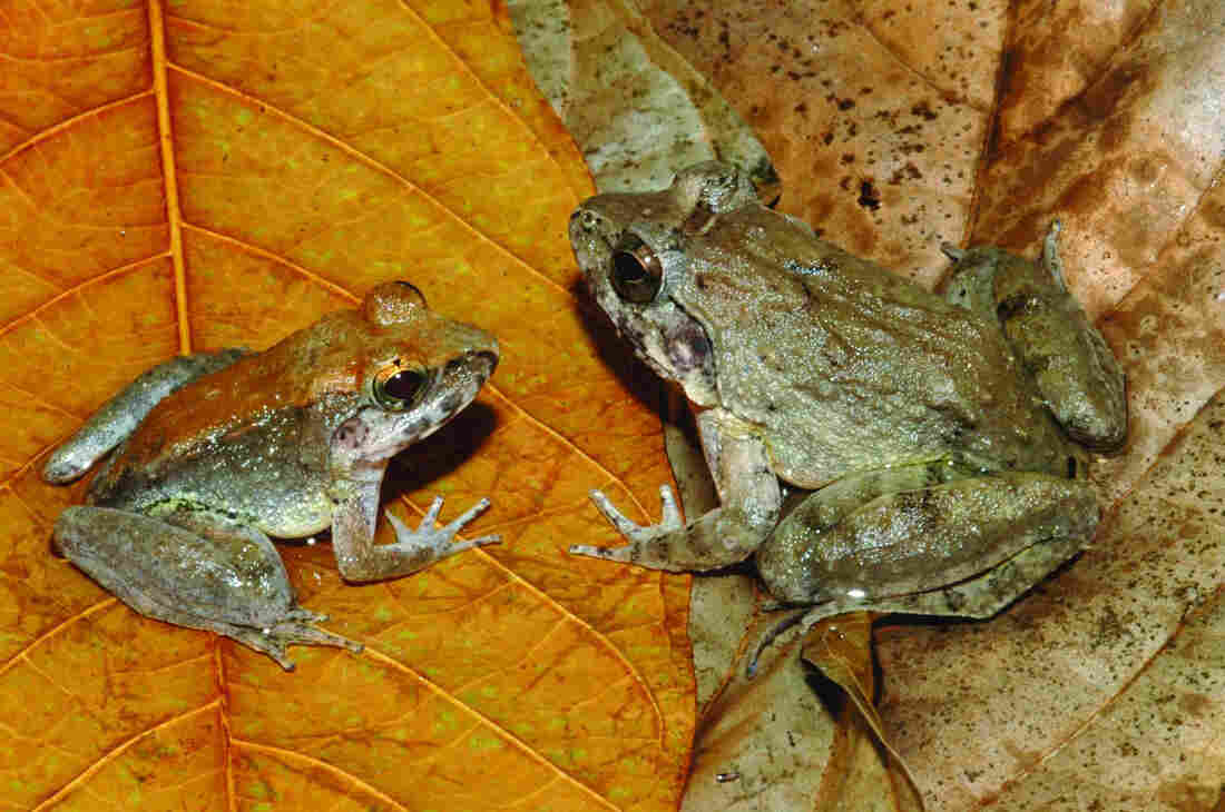The newly described L. larvaepartus (male, left, and female) from Indonesia's island of Sulawesi. Odd, sure, but at least they don't use their stomachs as breeding chambers, as some other frogs do.