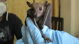Ecologists found signs of Ebola in a Rousettus leschenaultii fruit bat. These bats are widespread across south Asia, from India to China.