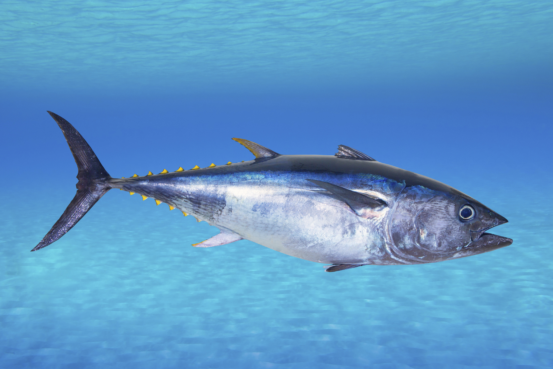 why some chefs just can 39 t quit serving bluefin tuna