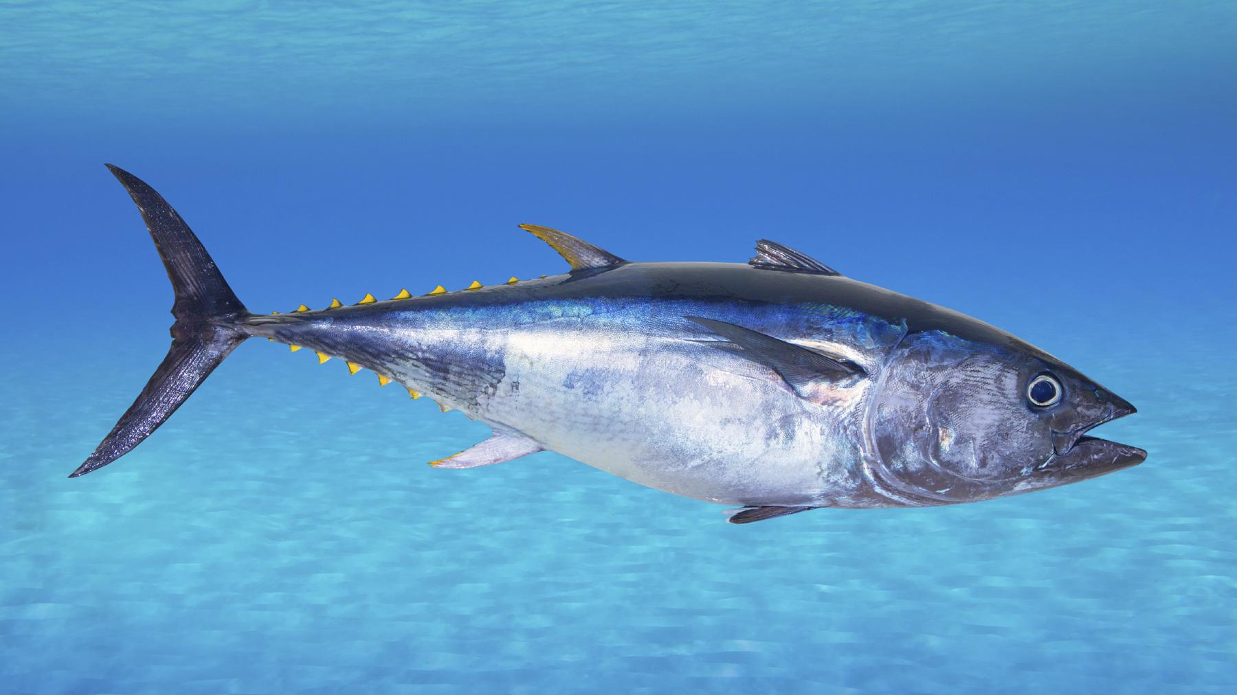 Discussion on this topic: Tuna, tuna/