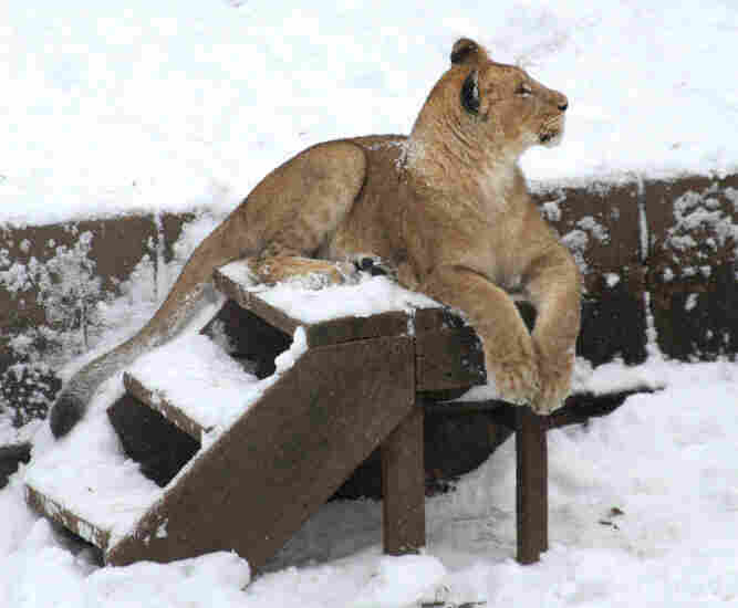 An African lion cub regards her habitat after a morning snowfall at the National Zoo in Washington, D.C.