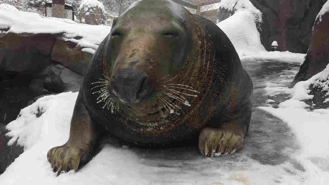 A gray seal named Gunther takes in the snow at the zoo.