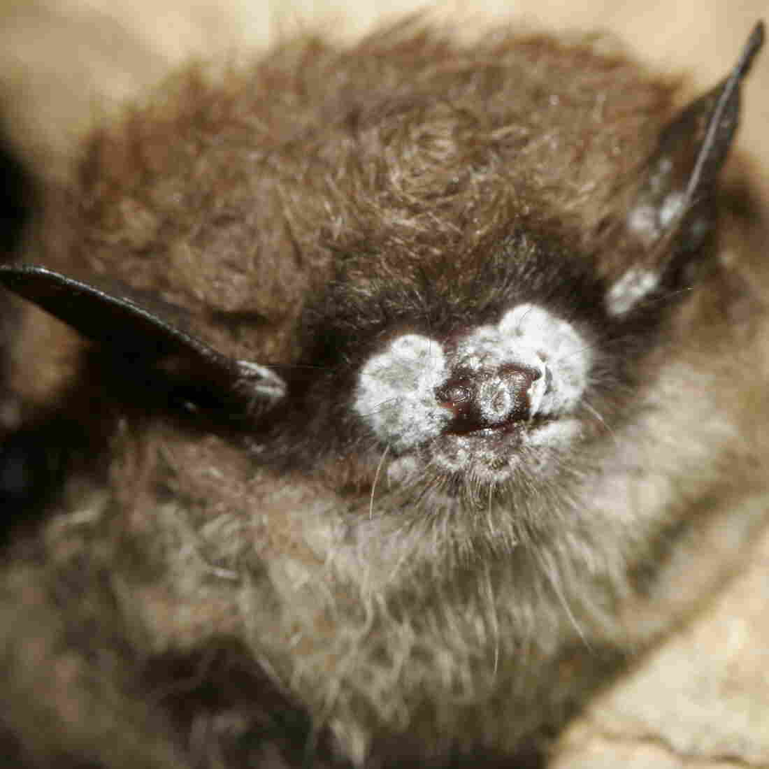 Good News For Bats! Things Are Looking Up For Stemming Disease Spread