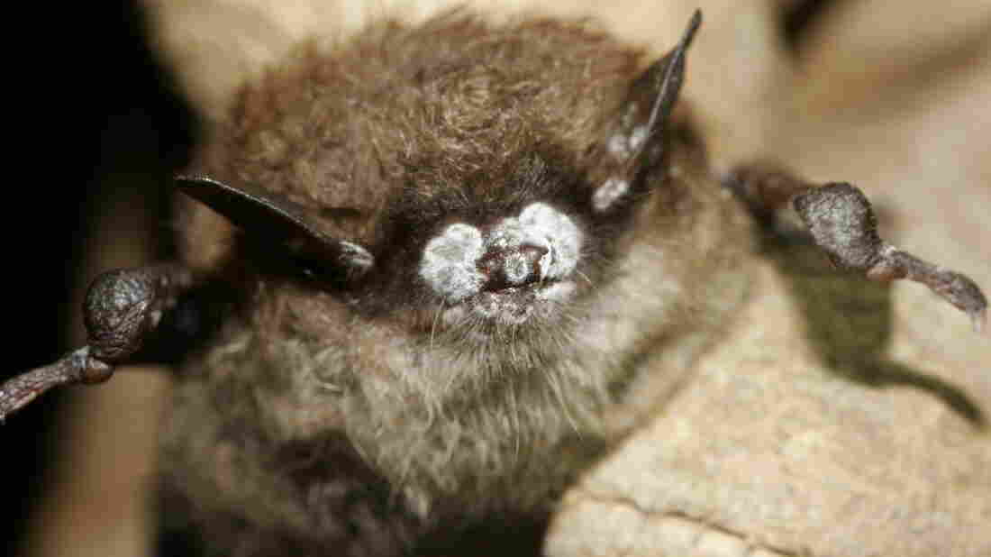 This October 2008 photo, provided by the New York Department of Environmental Conservation, shows a brown bat with its nose crusted in fungus.