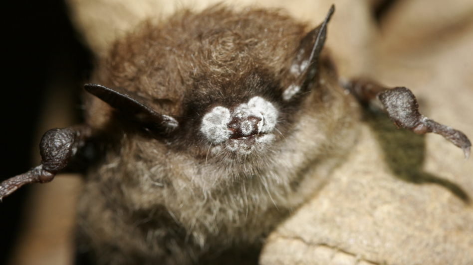 This October 2008 photo, provided by the New York Department of Environmental Conservation, shows a brown bat with its nose crusted in fungus. (Ryan von Linden/AP)