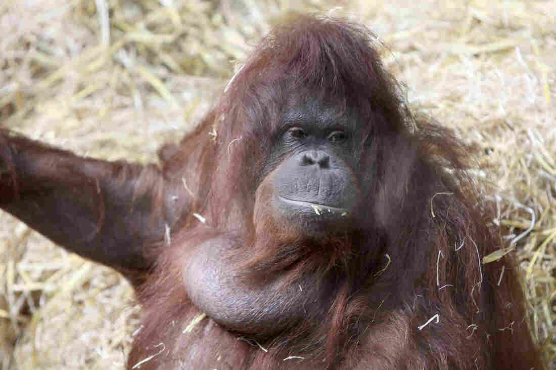 Tilda the orangutan, relaxing between gabfests at the Cologne Zoo.