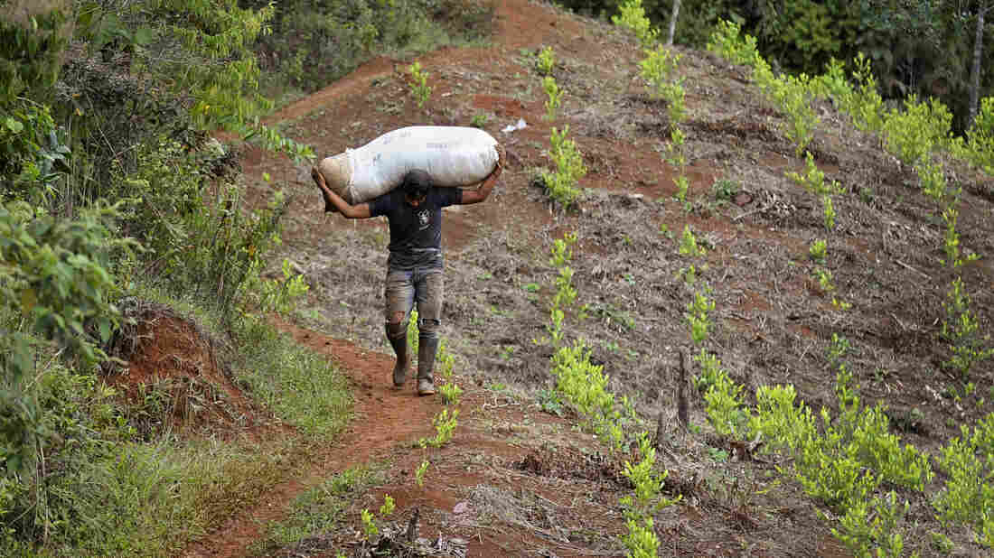 """A man carries a bag with coca leaves in December 2013 in a rural area of Corinto, department of Cauca, Colombia. The Colombian government and the FARC are attempting address the issue of """"illicit cultivation"""" as the third point of their ongoing peace talks."""