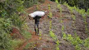"A man carries a bag with coca leaves in December 2013 in a rural area of Corinto, department of Cauca, Colombia. The Colombian government and the FARC are attempting address the issue of ""illicit cultivation"" as the third point of their ongoing peace talks."