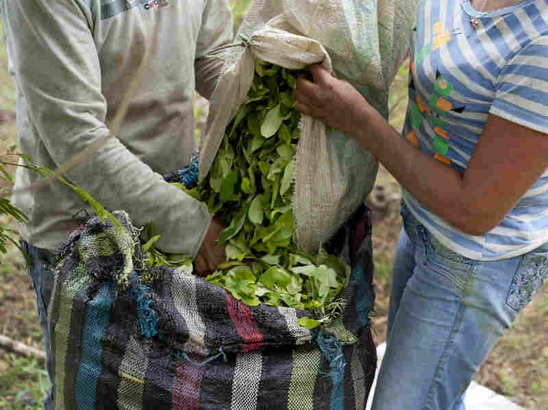 Farmers harvest coca leaves in June 2012 at a plantation in the mountains of the department of Cauca, Colombia.