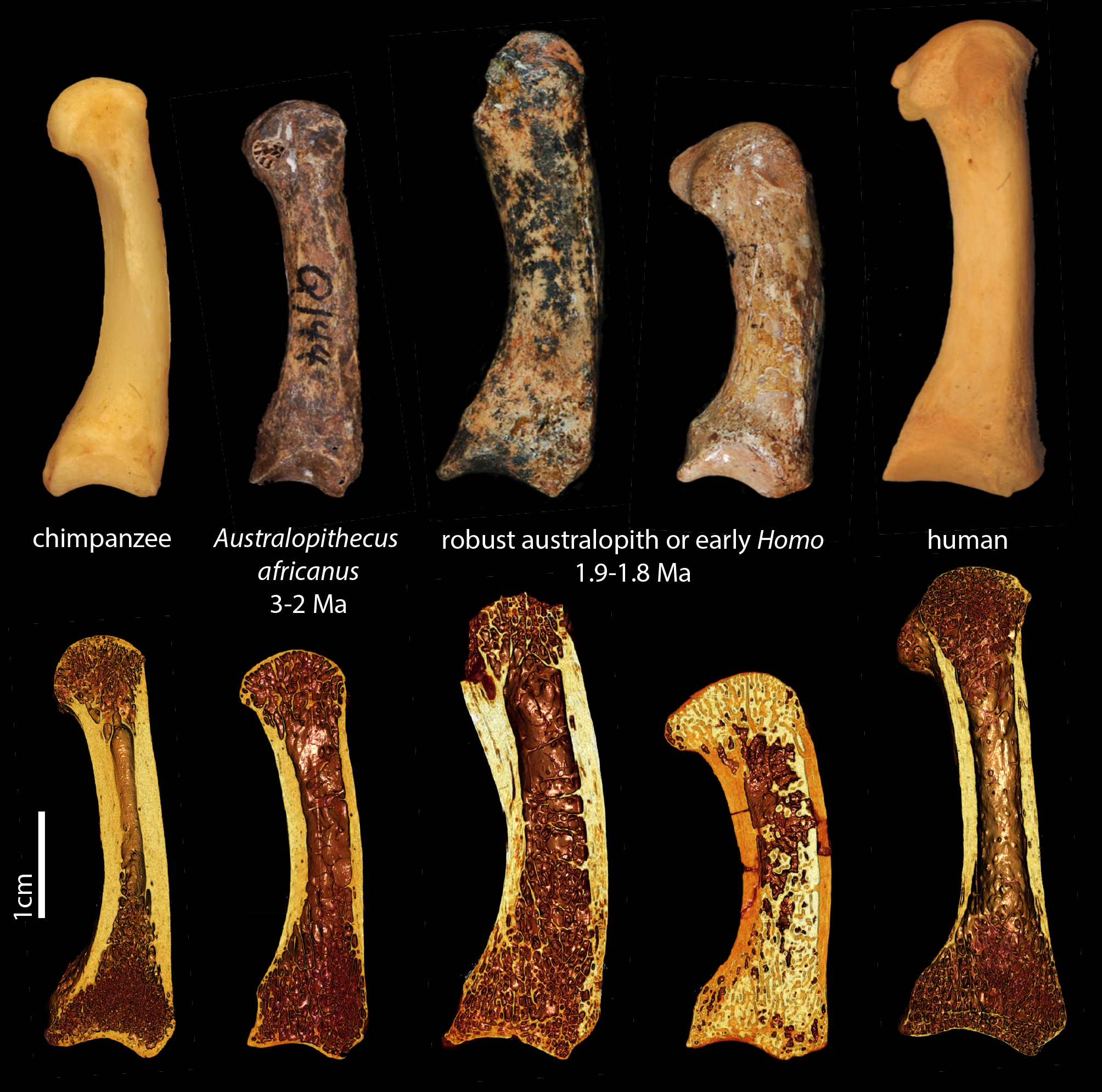 Maybe Early Humans Weren't The First To Get A Good Grip