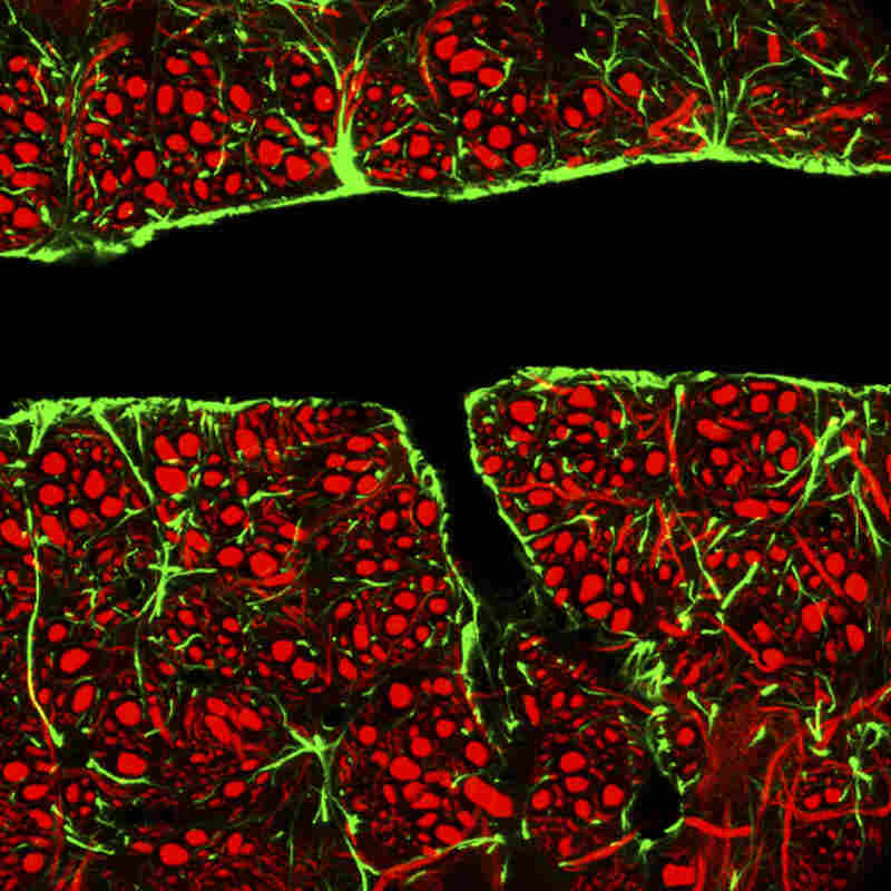 Tightly packed glial cells (green) and nerve cells (red) surround a blood vessel to form a barrier that keeps toxins from reaching delicate brain cells.