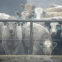 Beef Packers Block Plan To Revive Growth-Promoting Drug