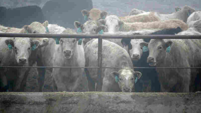 Cattle in holding pens at the Simplot feedlot located next to a slaughterhouse in Burbank, Washington on Dec. 26, 2013. Merck & Co Inc is testing lower dosages of its controversial cattle growth drug Zilmax drug in an effort to resume its sales to the $44 billion U.S. beef industry.