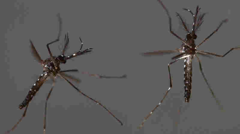 A couple of male, genetically modified Aedes aegypti mosquitoes take flight.