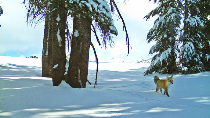 Rare Fox Takes A Walk In The Park, And Yosemite Staff Cheer