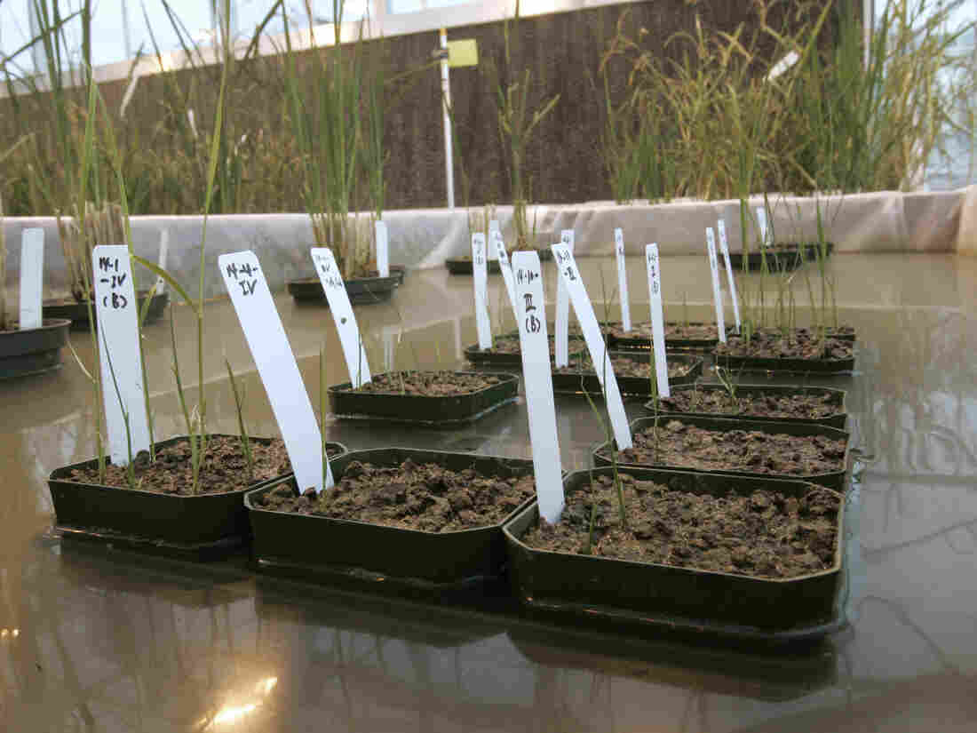 Genetically modified rice plants are shown in a lab in 2006. A new report from Pew Research shows a wide gap between perceptions of safety of GM foods between scientists and the general public.