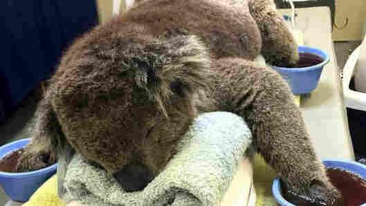 Jeremy the Koala.