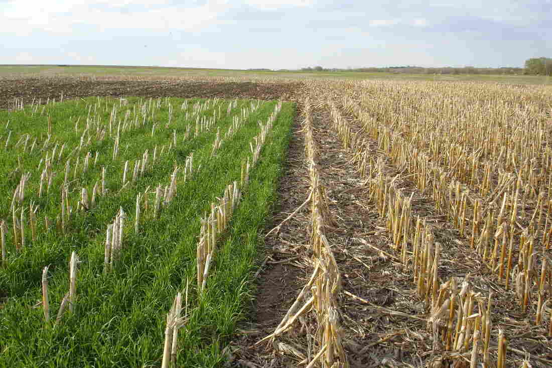 A cereal rye cover crop grows (at left) in a field where corn was recently harvested. Cover crops can capture nutrients such as nitrate and prevent them from polluting nearby streams.