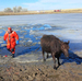 To Save Two Colo. Cows, All It Took Was A Good Ice-Breaker