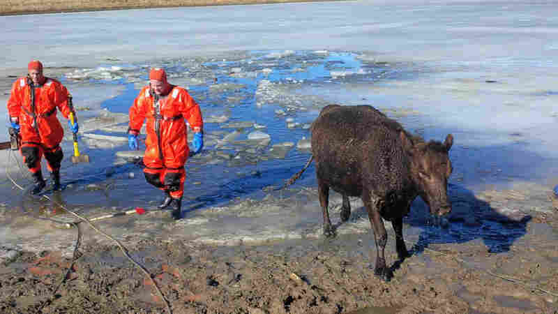 In this photo provided by the Fountain, Colo. Fire Department, a cow walks away from an icy pond after firefighters rescued it and one other cow that had fallen through the ice.