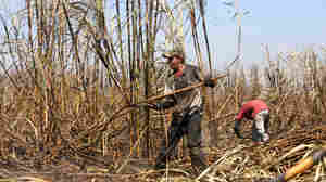 New Clues To Mysterious Kidney Disease Afflicting Sugar Cane Workers
