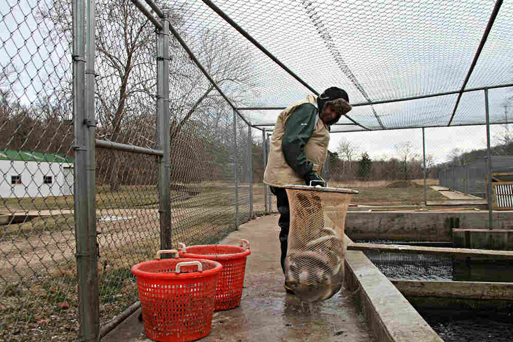 At Troutdale Farm in Missouri, farmhand Vince Orcutt pulls out rainbow trout ready to harvest.